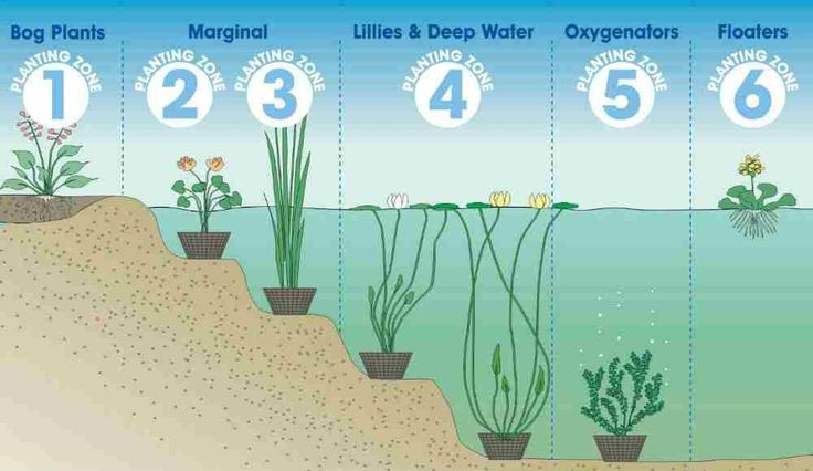 Guide to Pond Plants