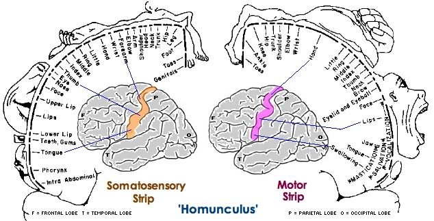 www.health-gossip.com Sensory and motor homunculus. Very important to remember that in sensory face is alloted the greatest area and in motor its hand. #homunculus #sensory #motor