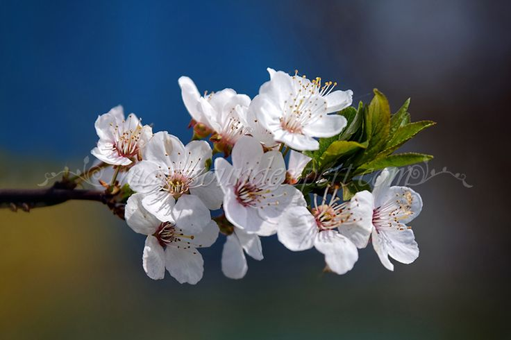 flori de corcodus