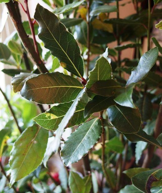 Bobkowe drzewo, czyli o właściwościach liści laurowych...