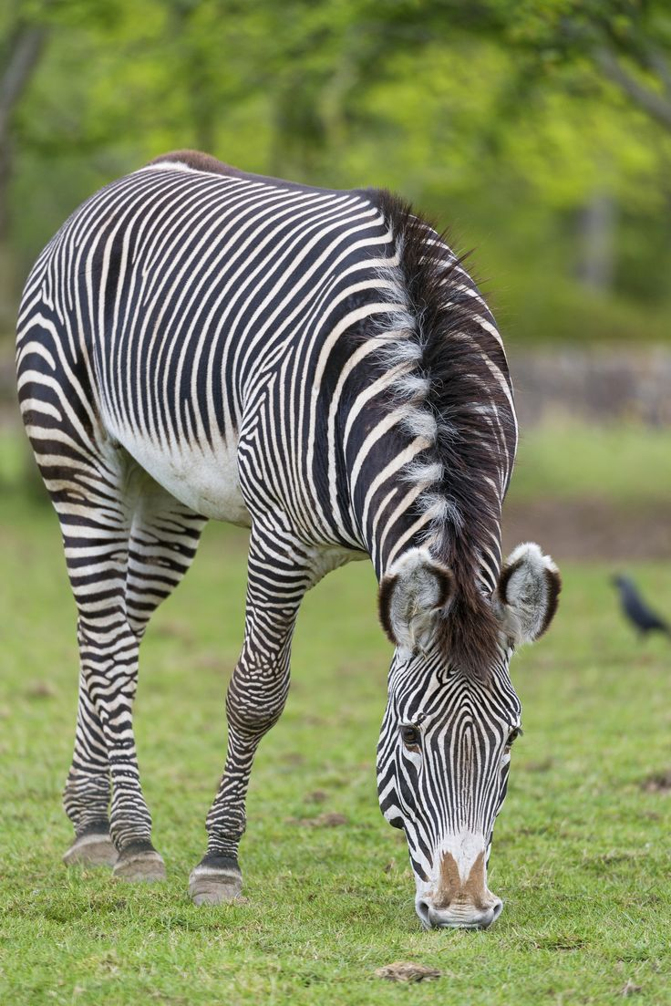 44 best usual and unusual zebras images on pinterest zebras