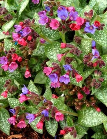 Pulmonaria info for seed planting