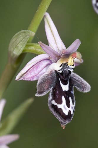 The Cretan Orchid ~ Ophrys cretica