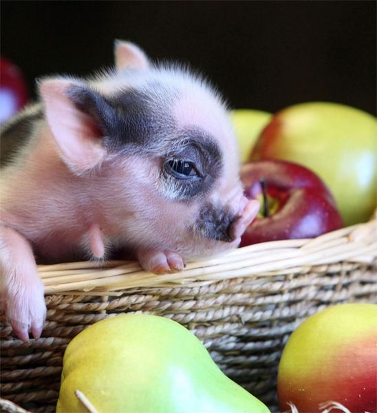 What A Cute Spotted Berkshire Pig.