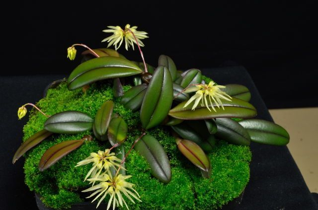 Bulbophyllum purpurascens. By kentucky4. [1] [2]