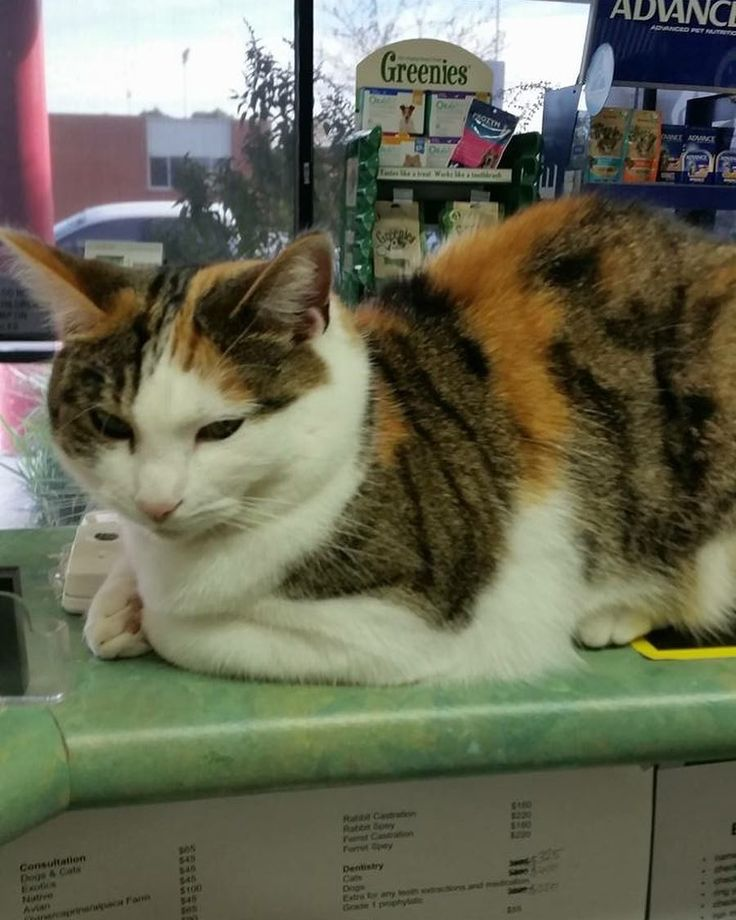 Kimmy working that front desk       #yourfamilyvet #yfv #pinkladies #veterinarian #vetnurse #vetlyf #vetlife #vetclinic #pets #petcare #pethealth #pethealthcare #wimmera #horsham #kimmy #catlove #catsofinstagram #cat #cats #cats_of_instagram #catsagram #adopted #adoptdontshop #horshampaws