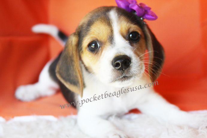 I Found The Perfect Pocket Beagle Pocket Beagles Usa Com My