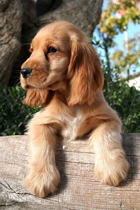 This cute Cocker Spaniel puppy is looking for unique brown dog names
