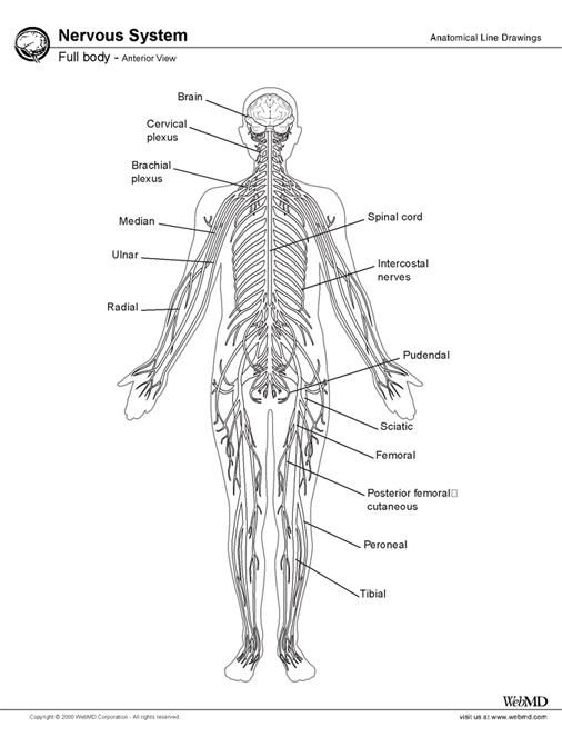 best 25  central nervous system ideas on pinterest