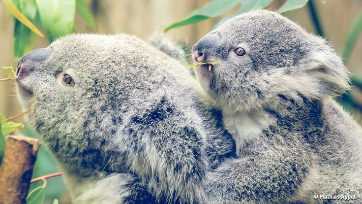 Scientists are worried about the effect rising sea levels and deforestation are having on Australia's koala population. The iconic Aussie animal is already listed as vulnerable, but some are concerned things will only get worse.
