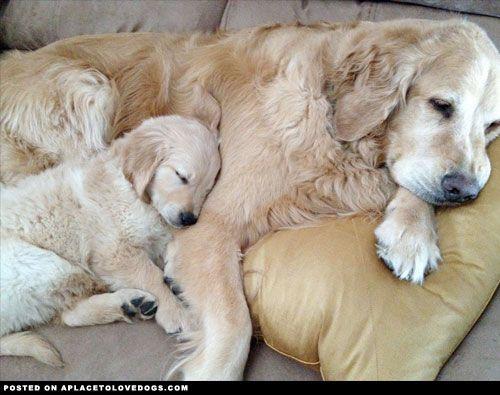 I do so love Goldens!!! <3 <3