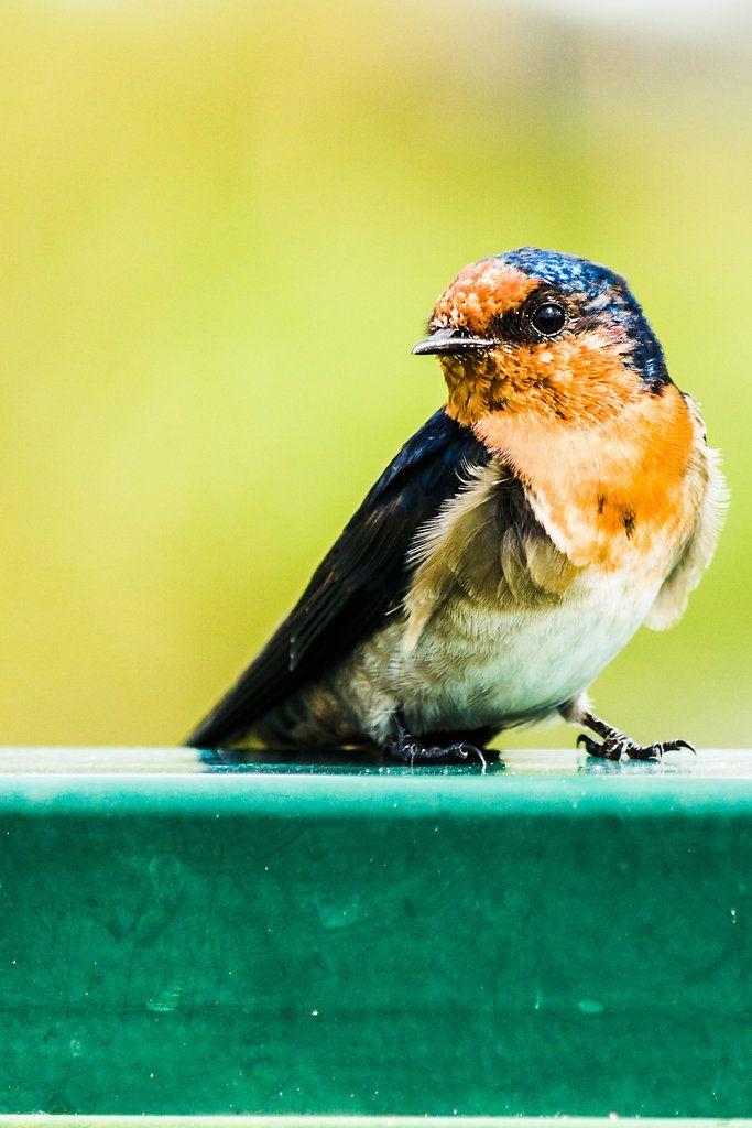Welcome Swallow - Brisbane, Australia - Zac Harney Photography