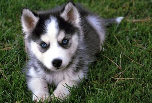 Pomsky Puppies for Sale in Us   images of cute picture puppy husky cutearoo puppies kittens baby ...