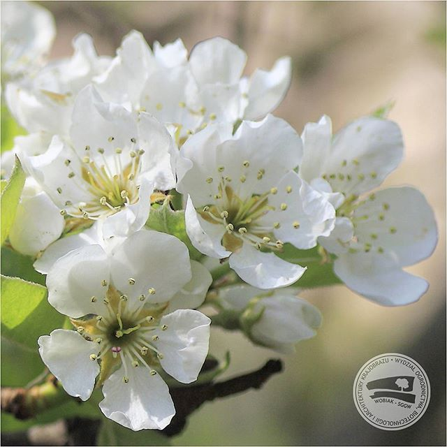 #kwiaty gruszy #Pyrus communis #różwate #grusza #sadownictwo #sad #zapylacz #ogrodnictwo #makro #makrofotografie  #WOBiAK #SGGW 🍐🍐🍐 Pyrus communis, European #pear or common pear #flowers #rosaceae #fruitgrowing #orchard #pollinator #macrophotography #top_macro #horticulture #WULS