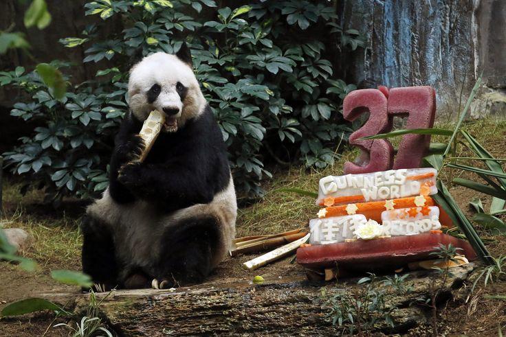 """Panda raksasa Jia Jia memakan bambu di samping kue ulang tahunnya yang terbuat dari es dan sayuran di Ocean Park, Hong Kong ketika merayakan ulang tahunnya yang ke-27. Jia Jia memecahkan rekor Guinness World Records untuk """"Panda Tertua yang Hidup di Penangkaran."""""""