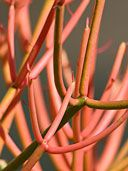 Buy Euphorbia Tir. Fire Sticks Plants, For Sale Online, How to grow & care for.