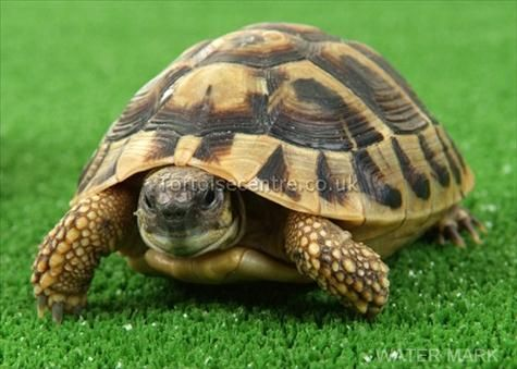 Tortoises | Baby Tortoises for sale - Wilton Pets Tortoise for sale at the ...