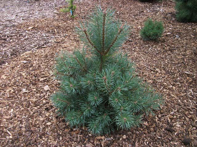 """Сосна обыкновенная """"Шантри Блю""""Pinus sylvestris 'Chantry Blue' известная, как Pine Conifer Отличается густой широковетвистой кроной с мягкой голубовато-зеленой, длинной хвоей, собранной в пучках по 5 штук, и красивыми узкоцилиндрическими шишками.Н2 м, Ш кроны до 1 м.Побеги коричневые, вертикальные. В период цветения появляются очень яркие оранжевые свечи. Хвоя длинная, насыщенно голубого цвета Mорозостойка. Светолюбива.К почвам малотребовательна. Выдерживает засуху и отсутствие полива…"""