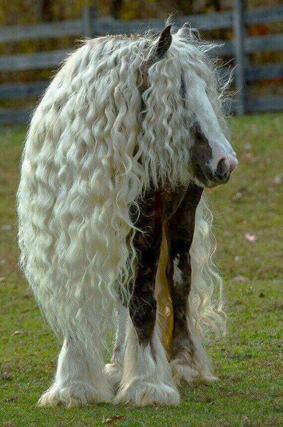 Horse with long white manes - paard met lange witte manen