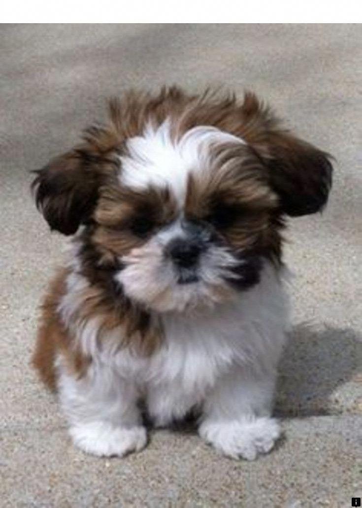 Shih Tzu Affectionate And Playful Shitzu Puppies Cute Baby