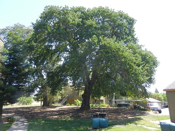 The 25 best drought tolerant trees ideas on pinterest for Fast growing drought tolerant trees