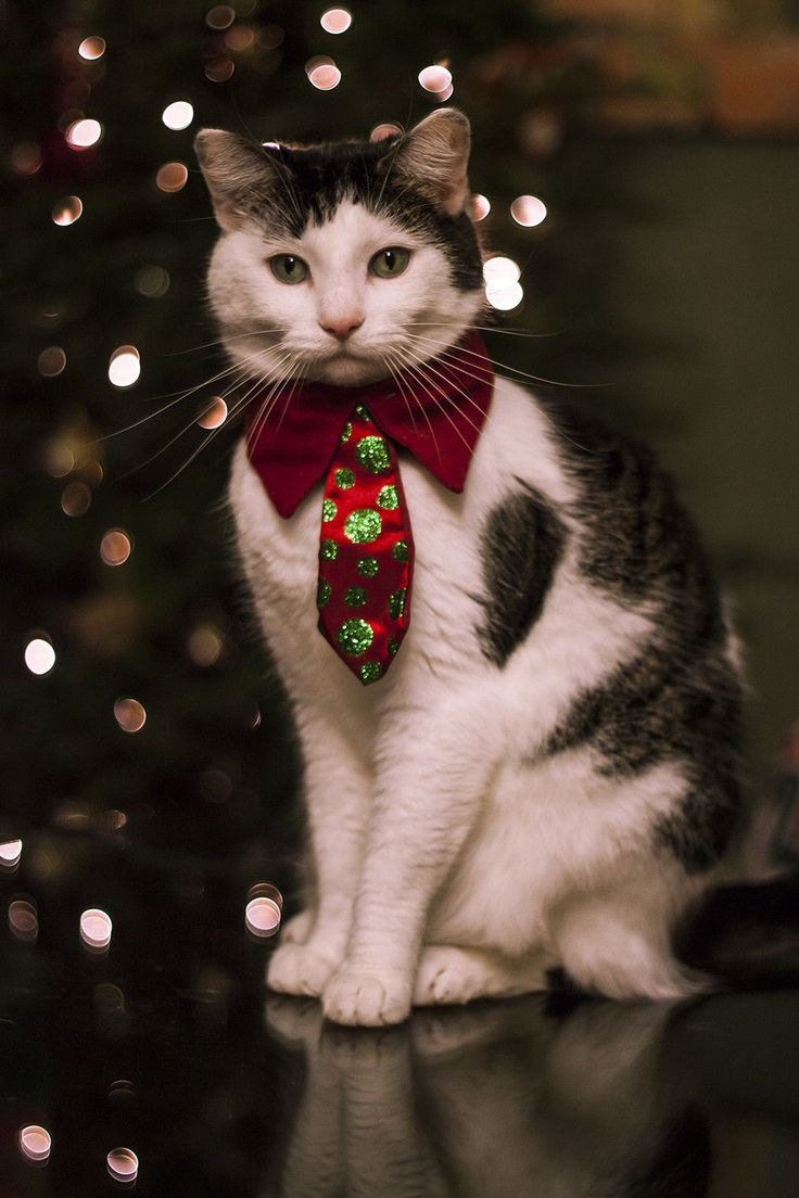 Christmas Cat cute cat adorable pets christmas animal clothes