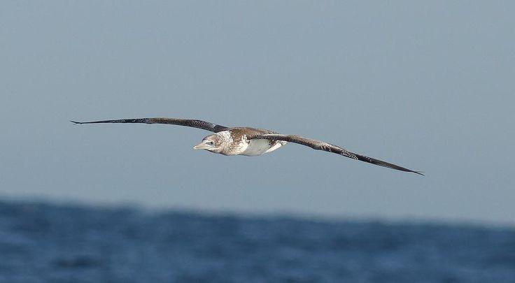 Juvenile Australasian Gannet off Port Stephens NSW. #birds #birding #birdphotography #wildbirds #nativebirds #
