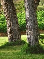 Growing grass under a pine tree isn't impossible; it just takes some ground preparation.
