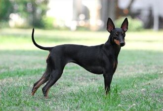 Manchester Terrier    Origin: England  Colors: Black-and-tan  Size: Small  Type of Owner: Novice  Exercise: Moderate  Grooming: Little  Trainability: Slightly difficult to train  Combativeness: Friendly with other dogs  Dominance: Moderate  Noise: Average barker