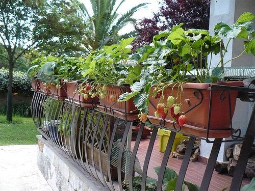 Come Coltivare Fragole In Giardino O Sul Balcone Di Casa