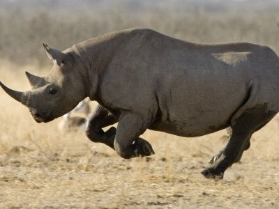 Google Image Result for http://top-10-list.org/wp-content/uploads/2009/07/Black-Rhino.jpg