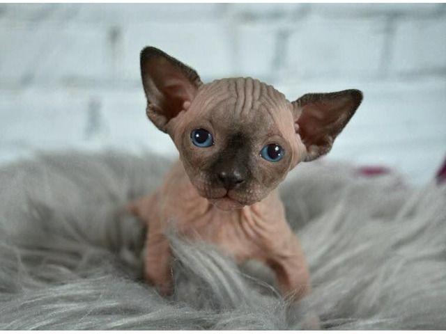 Sphynxkittensforsale Sphynx Kittens For Sale Kitten For Sale Cute Cats