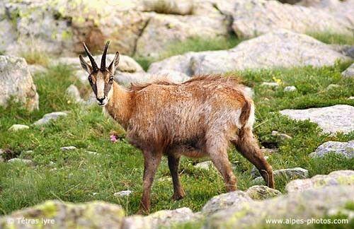 Animaux - Chamois des Alpes du nord