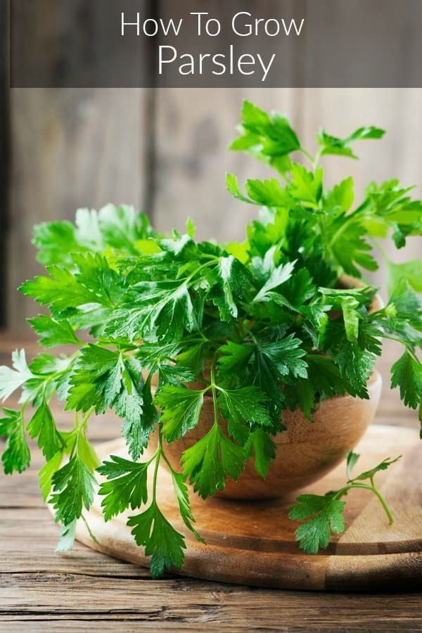How To Grow Parsley Yourself Growing Parsley Growing Herbs Indoors Easy Herbs To Grow