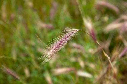 Foxtail weed - some more info