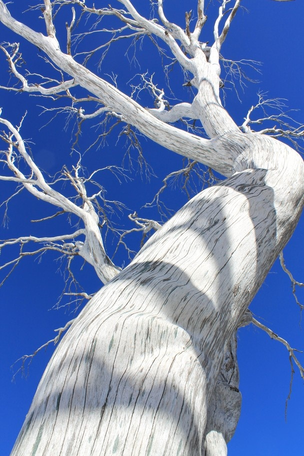 This dead Snowgum from the devastating bush fires of 2003 is still standing tall and beautiful in its silver, bleached glory and I was able to capture it against the clear blue sky by lying down backwards over a rock in the snow.