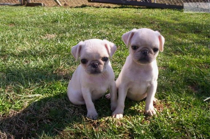 Brindle Pugs puppies in Massachusetts for sale  | rare white pug puppies for sale, brindle pugs also | White Male Pug ...