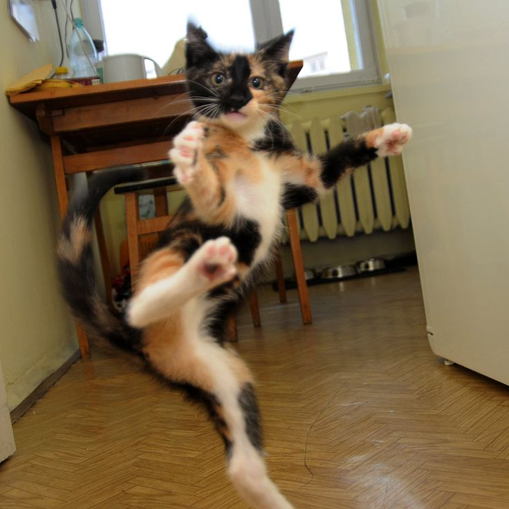 Ninja cat!Kungfu, Animal Pictures, Funny Pictures, Funny Cat, Kung Fu, Ninjas Cat, Funny Animal, Kitty, Karate