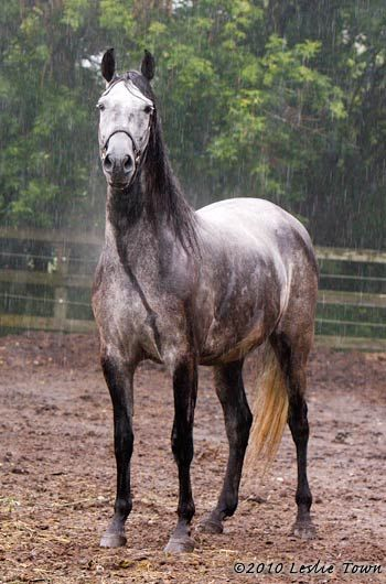Handsome Paso Fino in the Rain