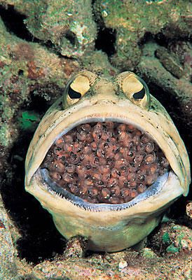 A male jawfish is seen with eggs in his mouth in the Philippines