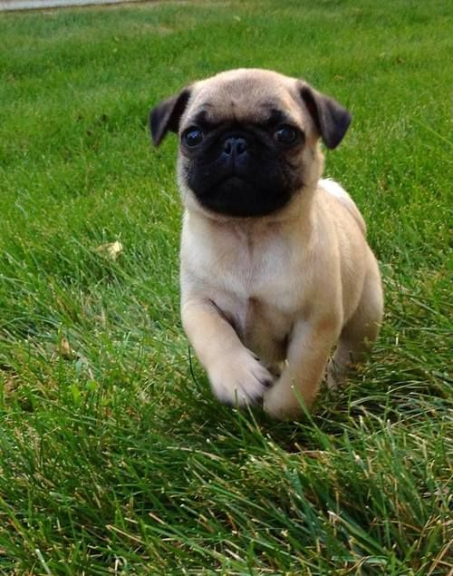 Baby pug. Reminds me of my first pug, a rescue when I lived with my girlfriend in a condo in Portland back in 1998.