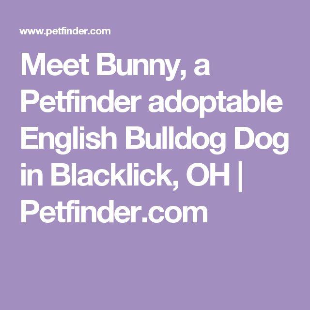 Meet Bunny, a Petfinder adoptable English Bulldog Dog in Blacklick, OH   Petfinder.com
