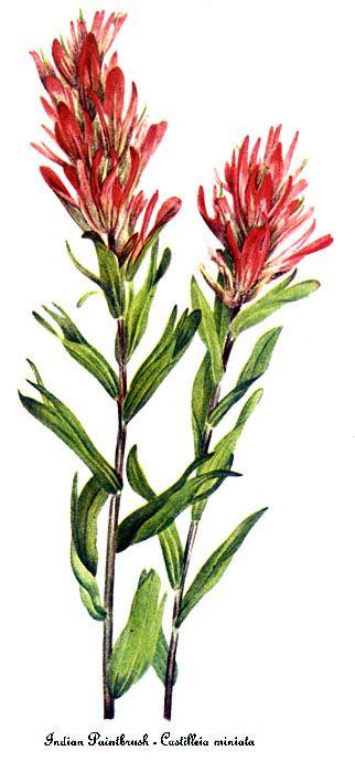 Indian Paintbrush, Botanical Illustration