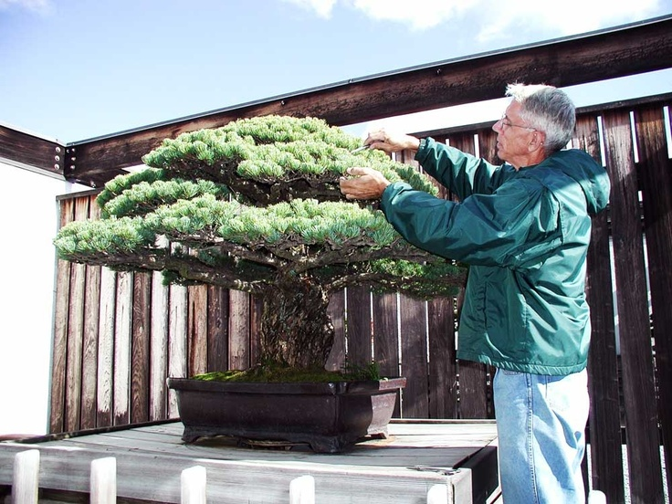 Photos of the 400 Year Old Japanese White Pine at the National Arboretum. It is being cared for by Jim Hughes, the former curator of the National Bonsai & Penjing Museum.    - from bonsaiclopedia.com