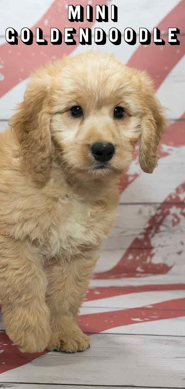 Mini Goldendoodle Mix Breed Information Golden Retriever Poodle