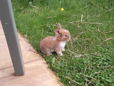 Baby Bunnies For Sale | Baby Rabbits for sale