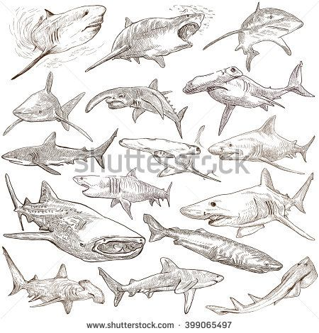 Animals, SHARKS, Chordata. Collection of an hand drawn illustrations. Description, Full sized hand drawn illustrations - freehand sketches. Drawings on white background.