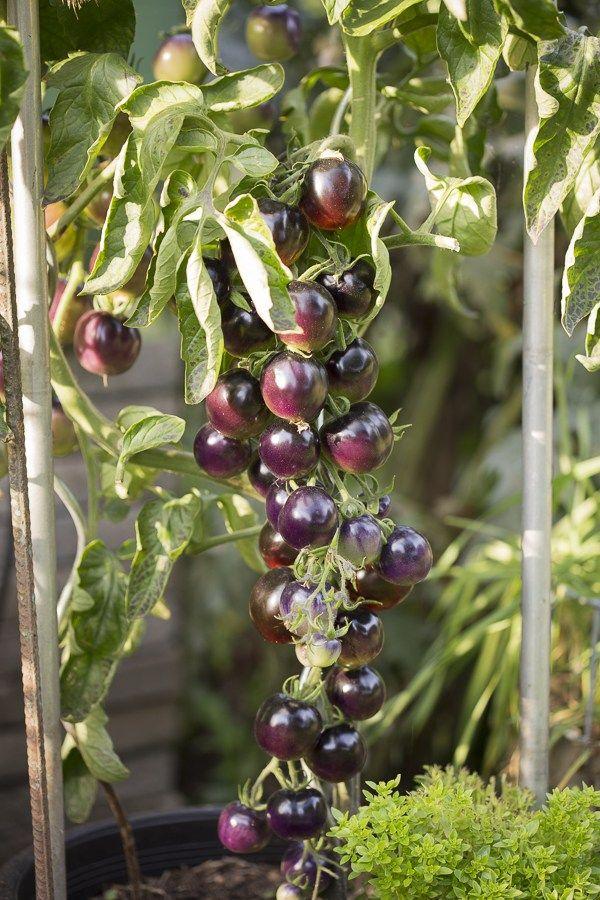 schwarze Tomaten, Purple Rose