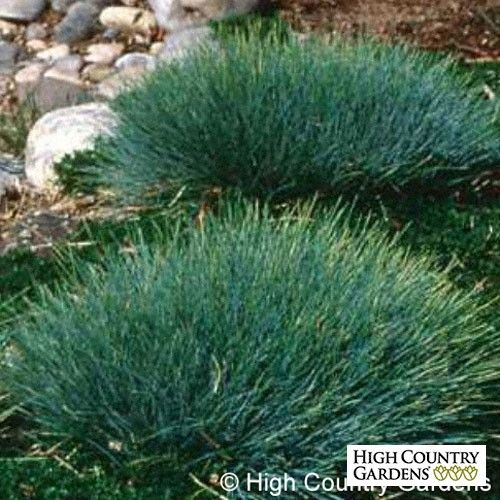 20 best ornamental grasses images on pinterest high for Small ornamental grasses
