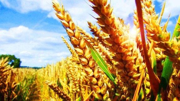Buğday Başakları #wallpaper #başak #buğday #wheat #spike